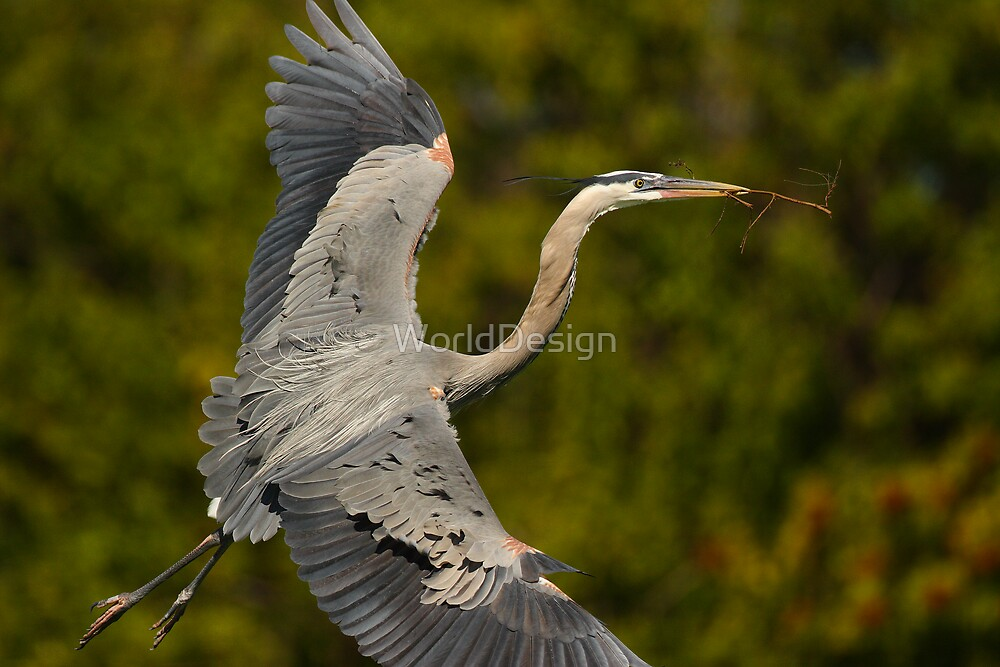 Great Blue Heron in Flight by William C. Gladish