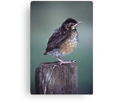 Baby Robin Portrait Canvas Print