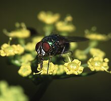 Fly & Pollen by William C. Gladish