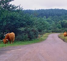 Heilan' Coos by WatscapePhoto