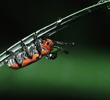 Milkweed Beetle & Dew Drop by William C. Gladish