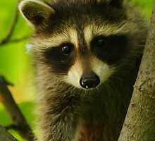 Young Raccoon at Home by William C. Gladish