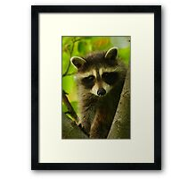 Young Raccoon at Home Framed Print