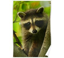 Young Raccoon at Home Poster