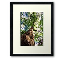 Old-Growth Beech Tree Framed Print