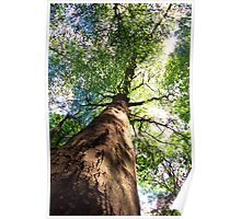 Old-Growth Beech Tree Poster