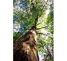Old-Growth Beech Tree Photographic Print