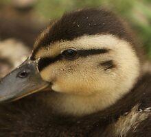 Baby Duckling by Franco De Luca Calce