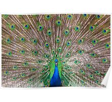 Indian Peafowl's Poster