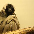 Gibbon Monkey by Franco De Luca Calce