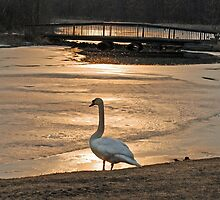 Swan in Solitude at Sunset by richardbryce