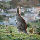 Urban Kangaroo by Jocelyn Pride
