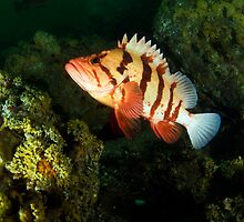 Tiger Rock Fish by Greg Amptman