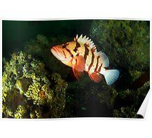 Tiger Rock Fish Poster