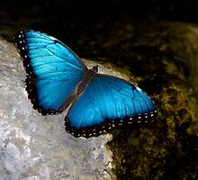The Blue Morpho by Adam Bykowski