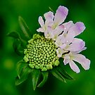 Pincushion Flower by Pamela Hubbard