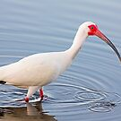 Wading American White Ibis by Kenneth Keifer