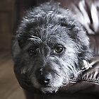 Scottish Terrier Cross - Pepper by lisajns