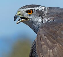 Northern Goshawk Screeching by Lena127