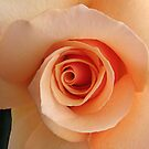 irresistible rose by picketty