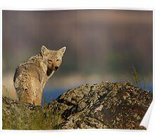 Coyote Looking Over Shoulder Poster