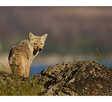 Coyote Looking Over Shoulder Photographic Print