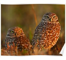 Burrowing Owl Couple at Sunset Poster