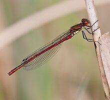 Large Red Damselfly  (Pyrrhosoma nymphula ) by Minne