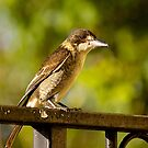 Australian Grey Butcher Bird. by johnrf
