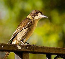 Australian Grey Butcher Bird. by johnrf