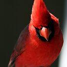 Cardinal by RichImage
