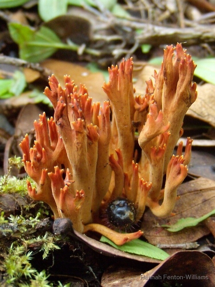 Fungi #1 by Hannah Fenton-Williams