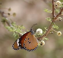 Plain Tiger on Acacia by David Clark