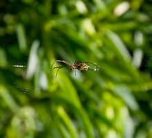Orb Weaver - Spider on its Web by RatManDude