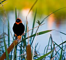 Southern Red Bishop at the Dam by RatManDude