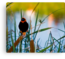 Southern Red Bishop at the Dam Canvas Print