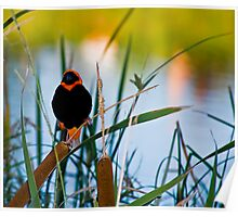 Southern Red Bishop at the Dam Poster