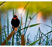 Southern Red Bishop at the Dam Photographic Print