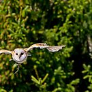 Barn Owl by jwinman