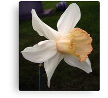 Pink Cyclamineus Daffodil Canvas Print