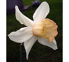 Pink Cyclamineus Daffodil Photographic Print