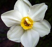 Small Cupped Daffodil by tonymm6491