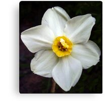 Small Cupped Daffodil Canvas Print