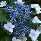 Baby Blue by Wanda Faircloth