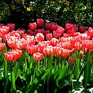 Pink Tulips by MEV Photographs