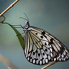 Butterfly in B&W by FelicityB