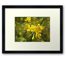 Fragrant Yellow Flowers Of Carolina Jasmine  Framed Print