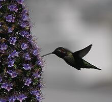 Russian Hill hummingbird by fototaker