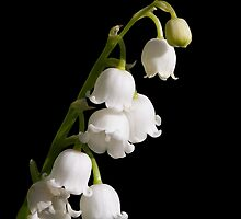 Lily of the Valley by Kenneth Keifer