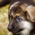 German Shepherd Pup by Lindsay Dean